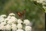 Butterfly, Grand Teton