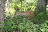 Red Deer at Grand Teton