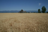 Wheat field at Somers