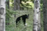 Black Bear near Jasper