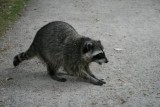 A racoon in Stanley Park, Vancouver