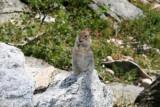A chipmonk in Cascade Canyon