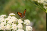 A butterfly in Cascade Canyon