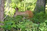 A deer in Cascade Canyon