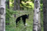A brown bear near Jasper