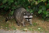 A racoon in Stanley Park