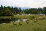 Canadian Geese in Stanley Park