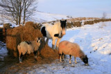 Sheep and Horse in Wensleydale