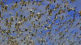 Snow Geese in flight.................