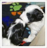 Bailey's Puppies at 3 weeks