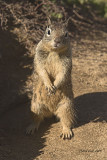 Ground squirrel posing for the camera