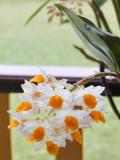 Soft Cane Dendrobium