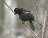 Red-winged Blackbird Display