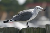 Laughing Gull - juvenile