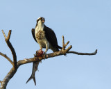 Osprey and Ladyfish