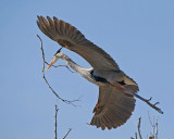 Great Blue Heron - Nest Construction