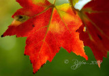 Sugar Maple Leaves ile Charon Montreal, Can