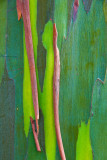 Painted Eucalyptus RD-536 painted eucalyptus tree bark