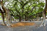 Lahaina Banyan Tree #7  (RD-579)
