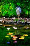 Black Crowned Night Heron - Standing By  (RD-597)