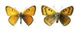 Extinct British Large Copper Butterfly (Lycaena dispar dispar)