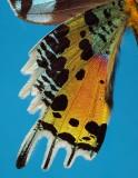 Madagascan Sunset Moth (Urania ripheus)
