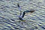 Seagull Fishing