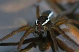Fen Raft Spider (Dolomedes plantarius)