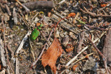 Tiger Beetle (Cicindela campestris)
