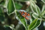 Black and Red Squash Bug (Corizus hyoscyami)