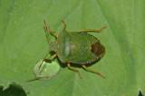Green Shieldbug (Palomena prasina)