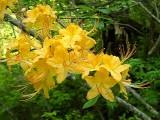 calendulaceum