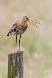 Grutto / Black - tailed Godwit