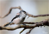 Longtail Tit/ Staartmees
