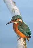 Kingfisher/ijsvogel