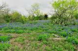 Ranch bluebonnets 2010