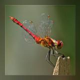 libellen__dragonflies