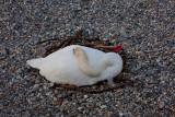 Geneva Swans 2
