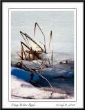 Frozen Water Reeds