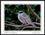 Golden-crowned Sparrow