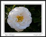 Rugosa Rose Snowdwarf