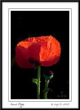 A Sunset Poppy