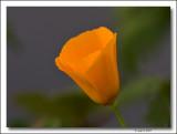 California Poppy.