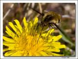 Bee Fly on Dandelion