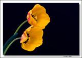 A sweet, yellow tulip,