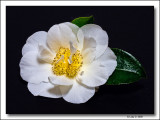 Mothers Day Camellia