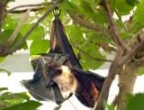 Bat (zoo image)
