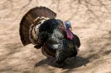 Turkey (zoo image)