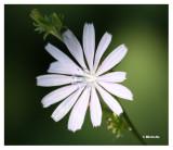 IMG_1297_1 Fleur des champs.jpg