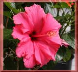 IMG_9160_1 Hibiscus.jpg